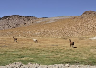 Guanacos at the altiplano